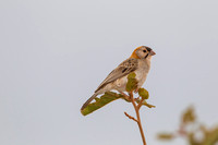 Speckle-fronted weaver KAC8693