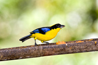 Blue-winged mountain-tanager KAC7520