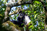 Abyssinian black and white colobus monkey KAC0175