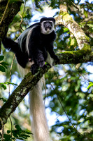 Abyssinian black and white colobus monkey KAC0193