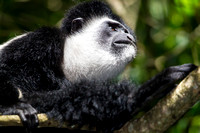 Abyssinian black and white colobus monkey KAC0228