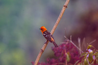 Flame-colored tanager KAC0995
