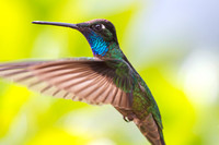 Magnificent hummingbird KAC0898