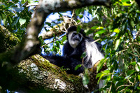 Abyssinian black and white colobus monkey KAC0174