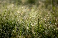 Summer Grasses KAC2762